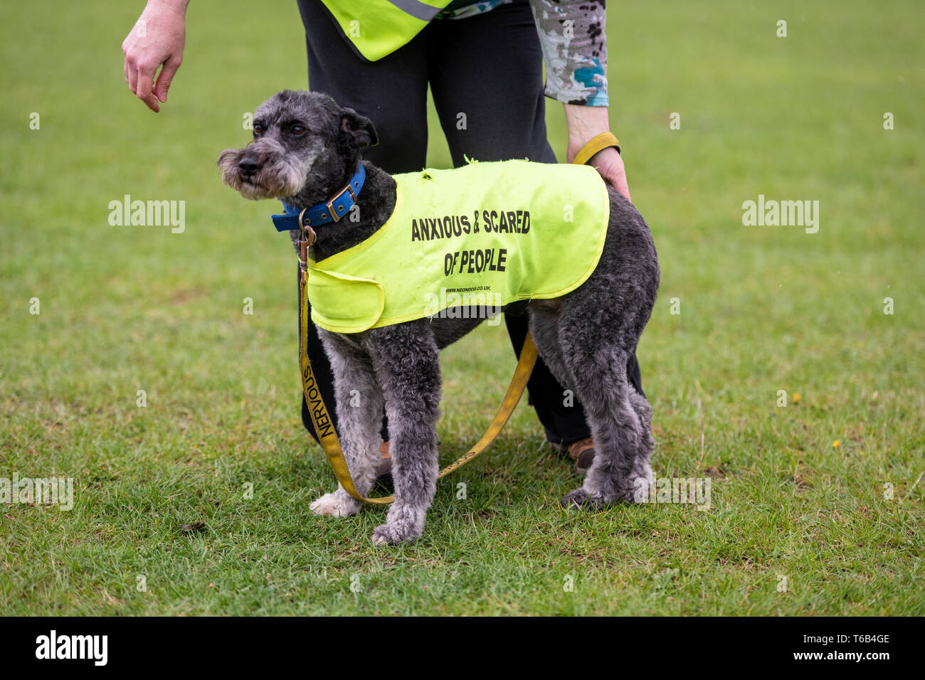 A woman with a dog wearing a yellow hi vis jacket with Anxious and Scared of people written on it. - Stock Image