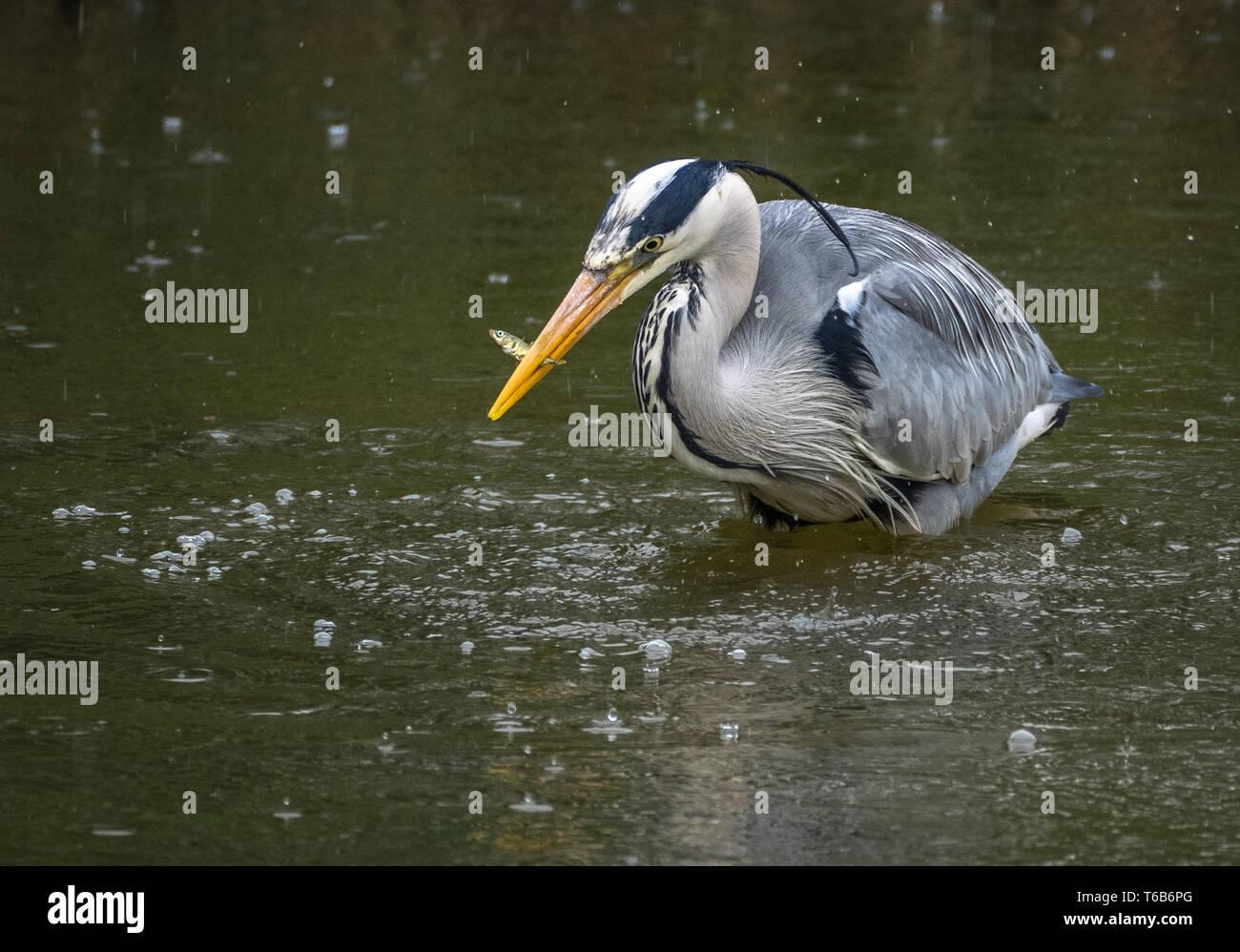Heron catching minnow, Welsh Wildlife Centre, Cilgerran, Wales Stock Photo
