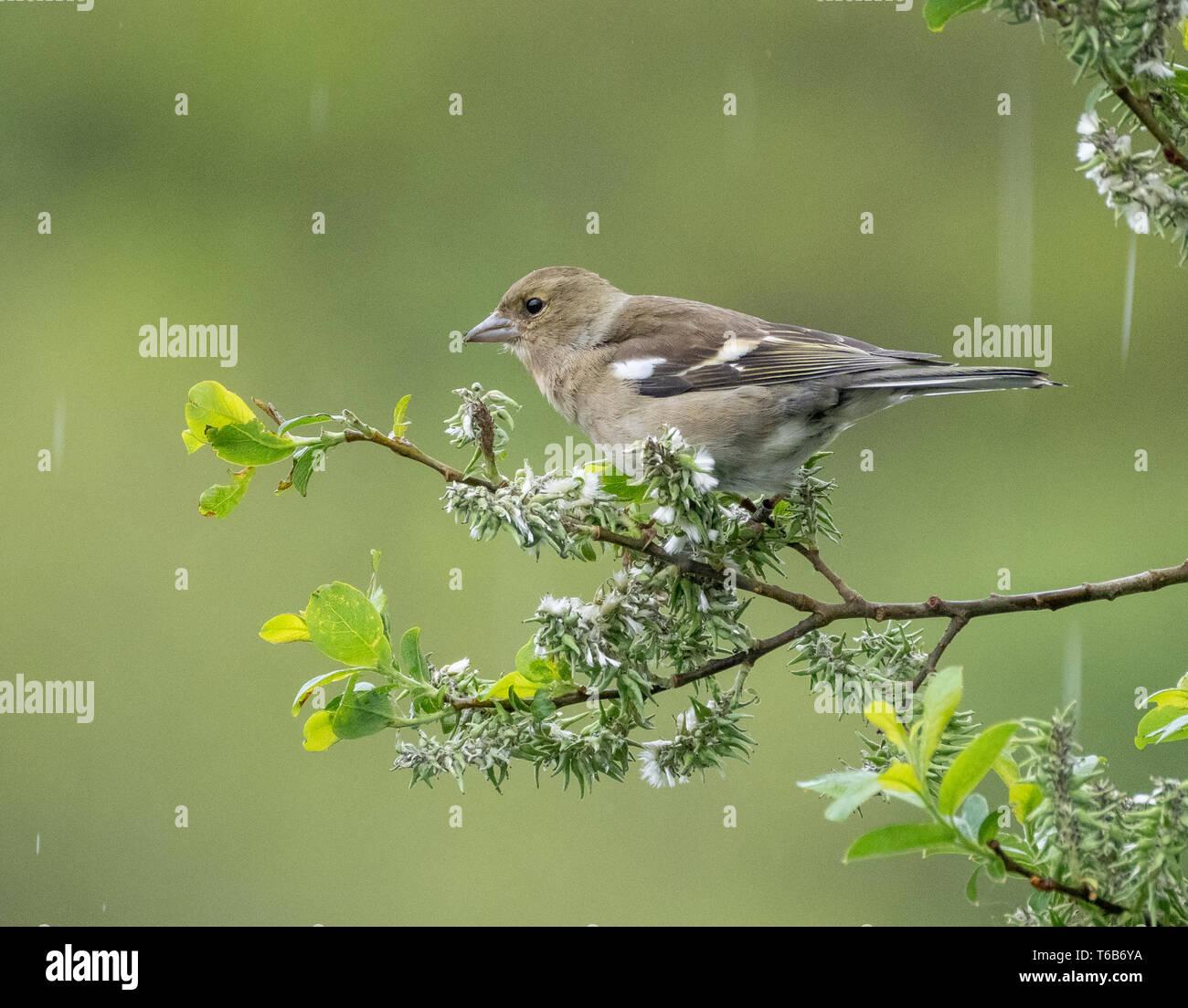 Warbler, Welsh Wildlife centre, Cilgerran, Wales Stock Photo