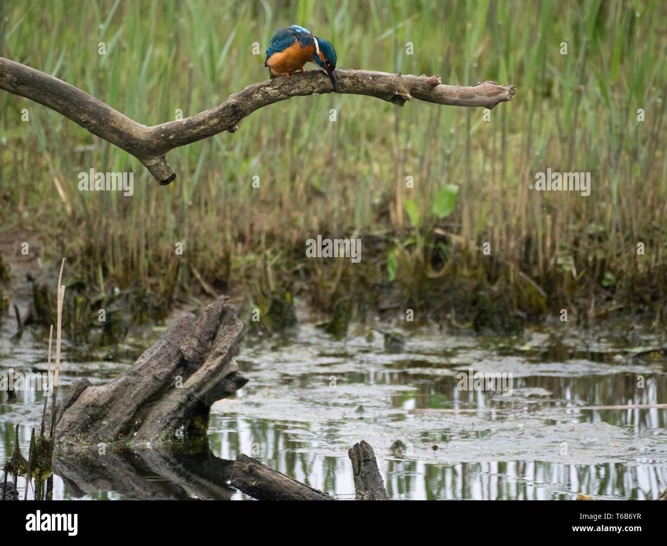 Kingfisher, Welsh Wildlife Centre, Cilgerran, Wales Stock Photo