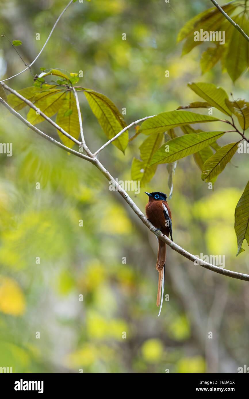 Madagascar Paradise-flycatcher, Terpsiphone mutata Stock Photo