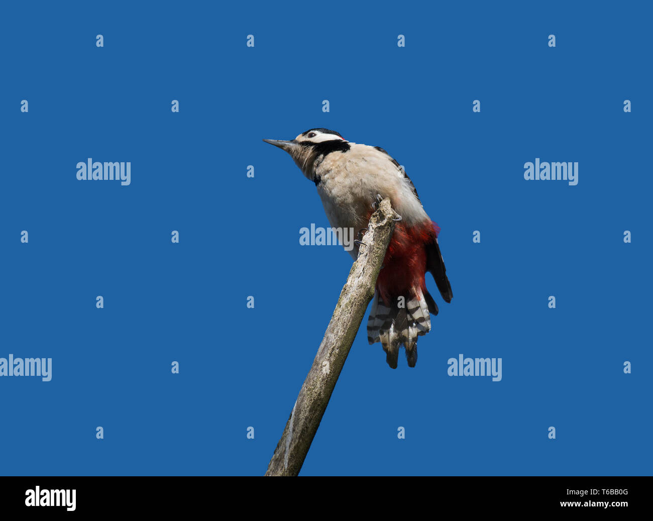 Great spotted Woodpecker, Dendrocopos major, on perch, viewed from below against blue sky, Lancashire, UK - Stock Image
