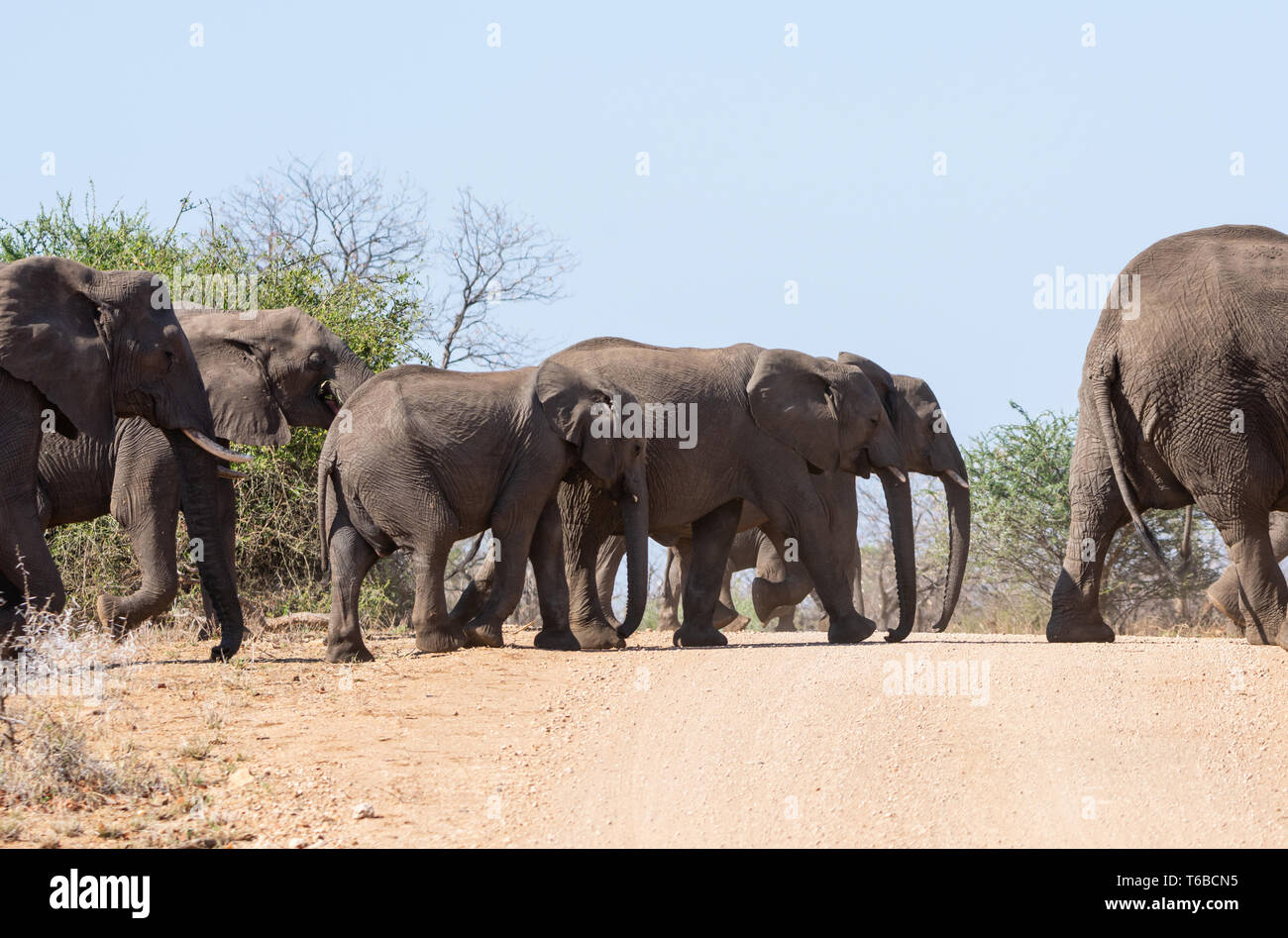 A herd of Elephants crossing a dirt track in Southern African savanna Stock Photo