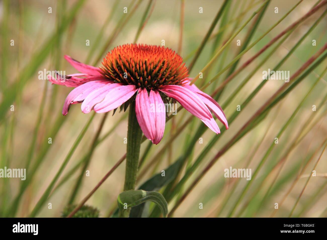 Red coneflower in front of blades of grass - Stock Image