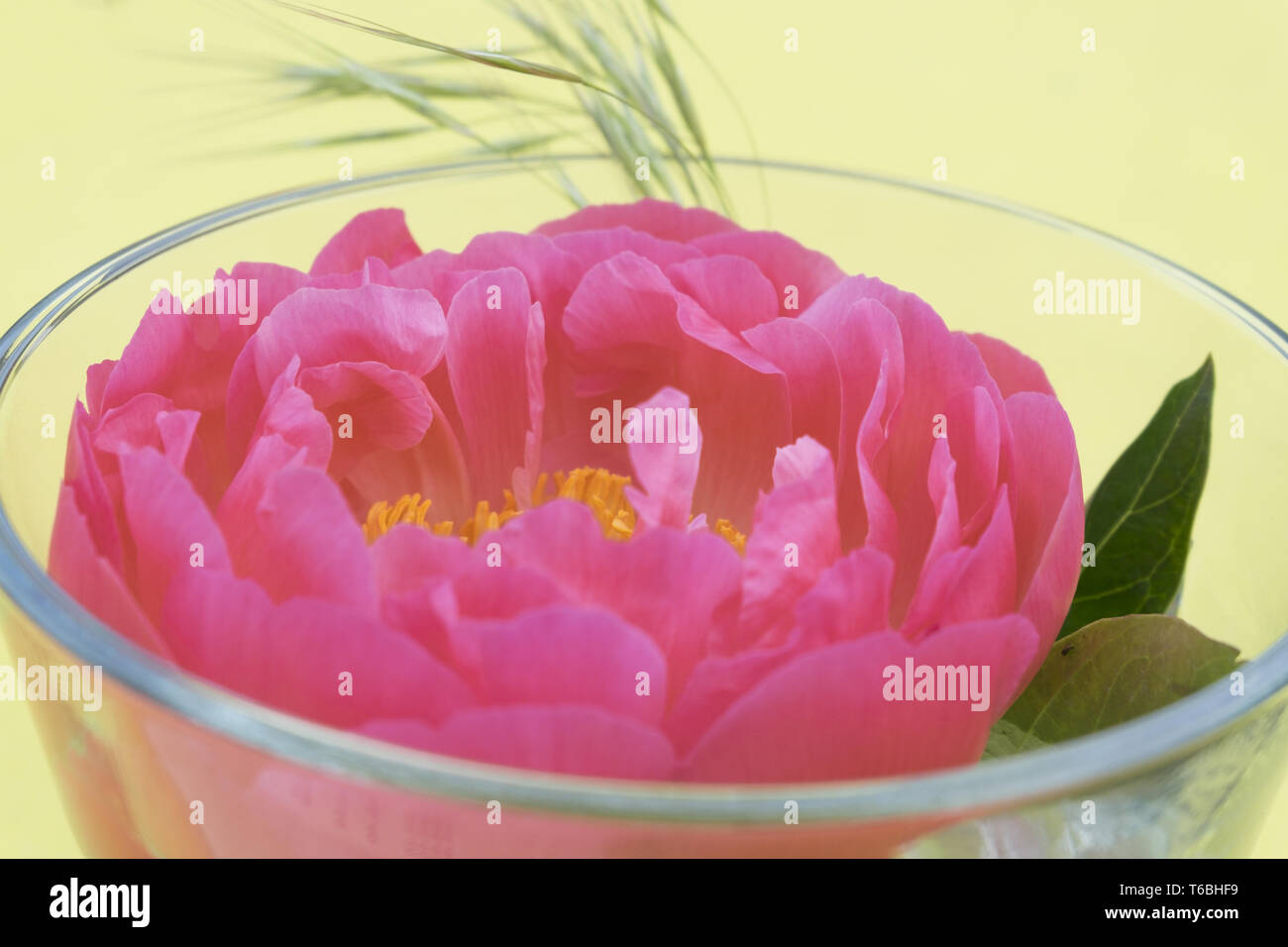 Peony, Paeonia officinalis Stock Photo