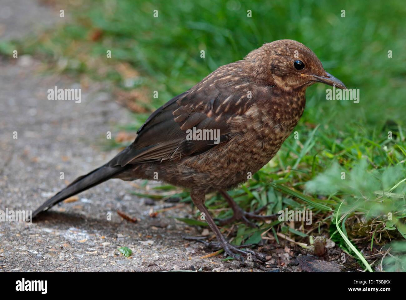 Baby Blackbird Stock Photos & Baby Blackbird Stock Images