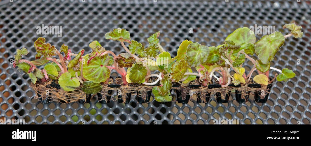 Begonia Seedlings in Postiplug Containers - Stock Image