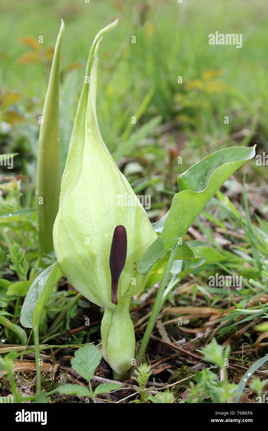 Lords and Ladies In Flower - Arum maculatum at Myers Allotment  - Butterfly Conservation Nature Reserve, Silverdale, Lancashire Stock Photo