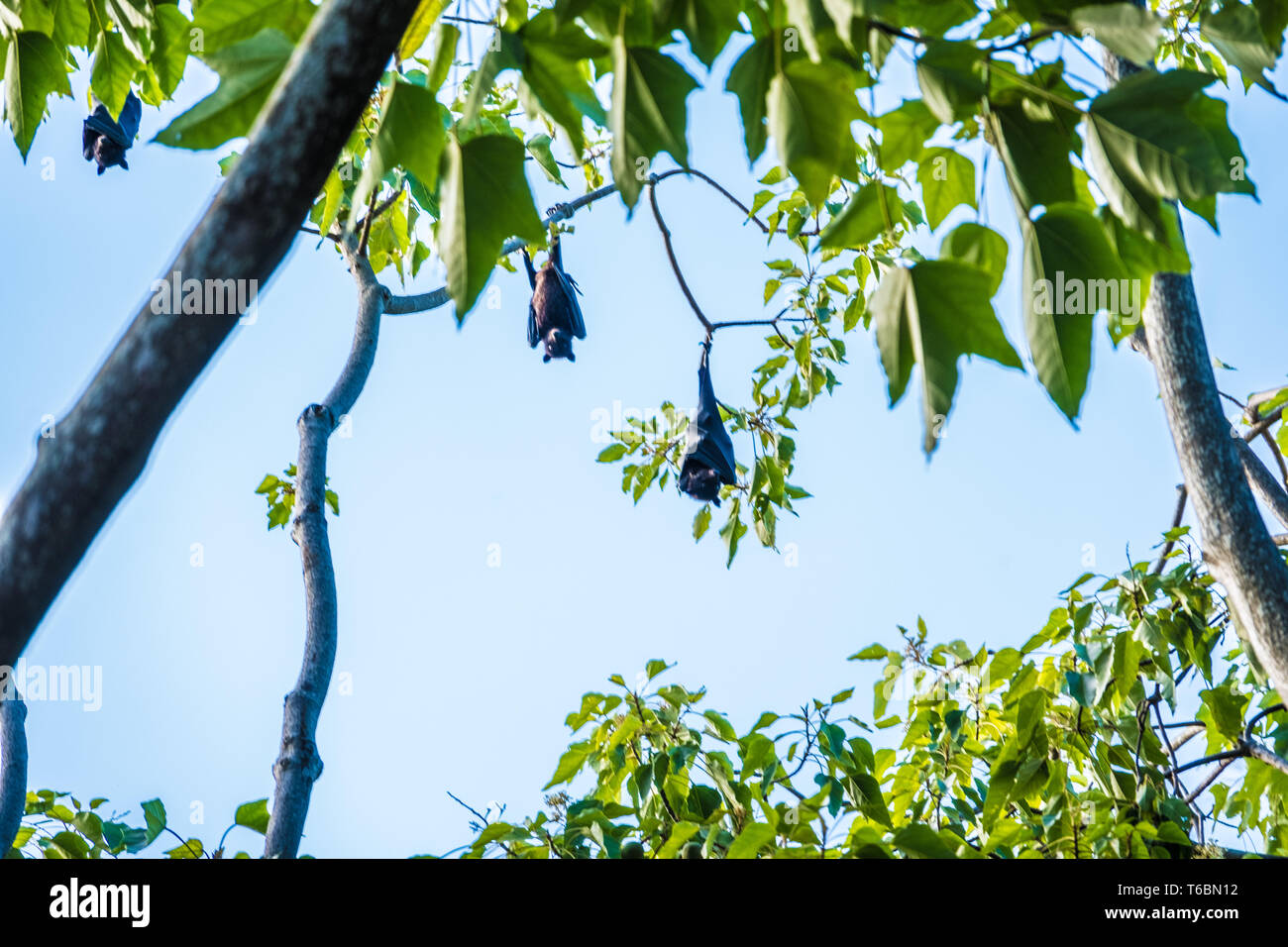Large fruit bats (flying foxes) hanging off a tree Stock Photo