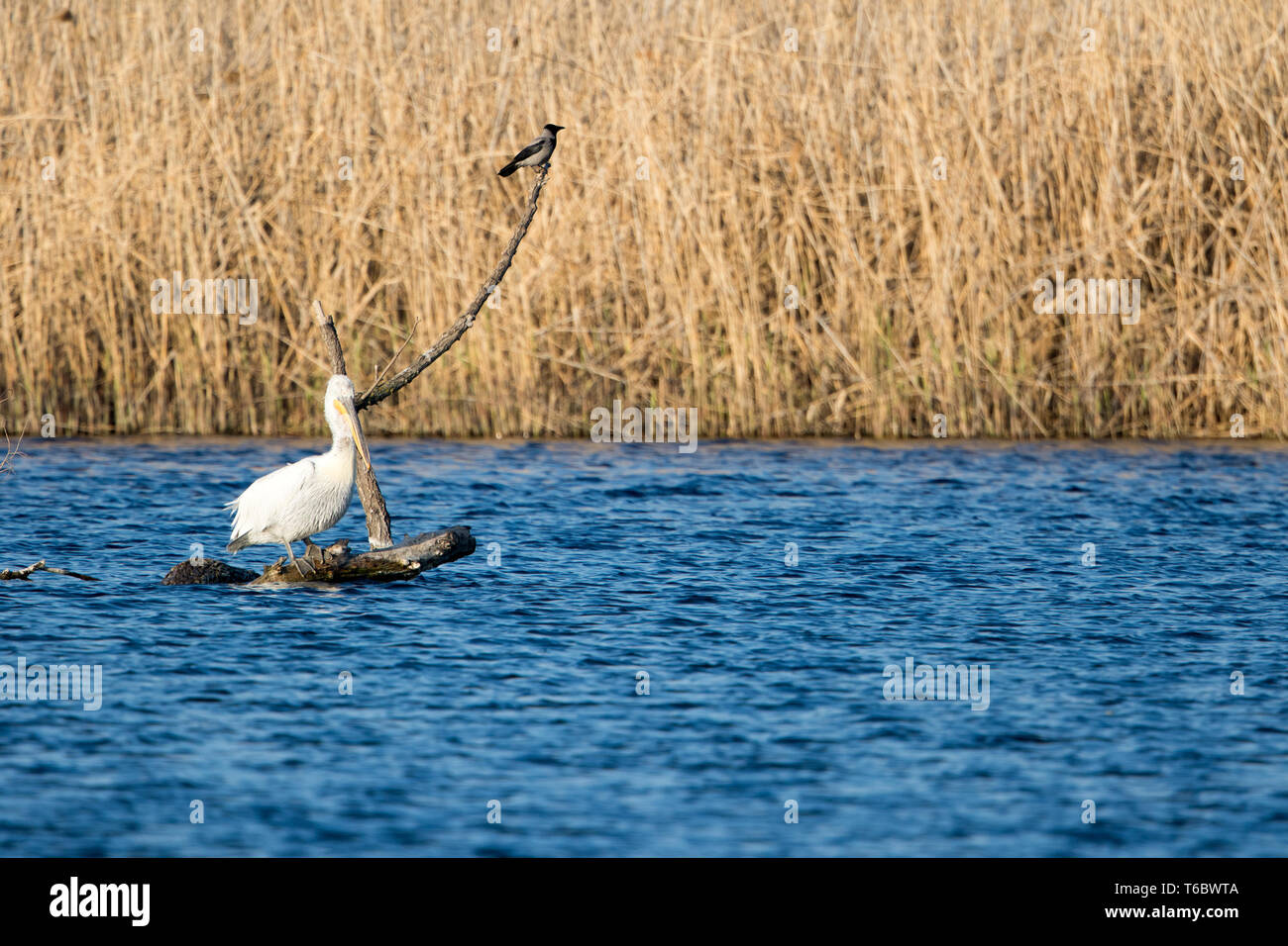 Dalmatian pelican and hooded crow - Stock Image