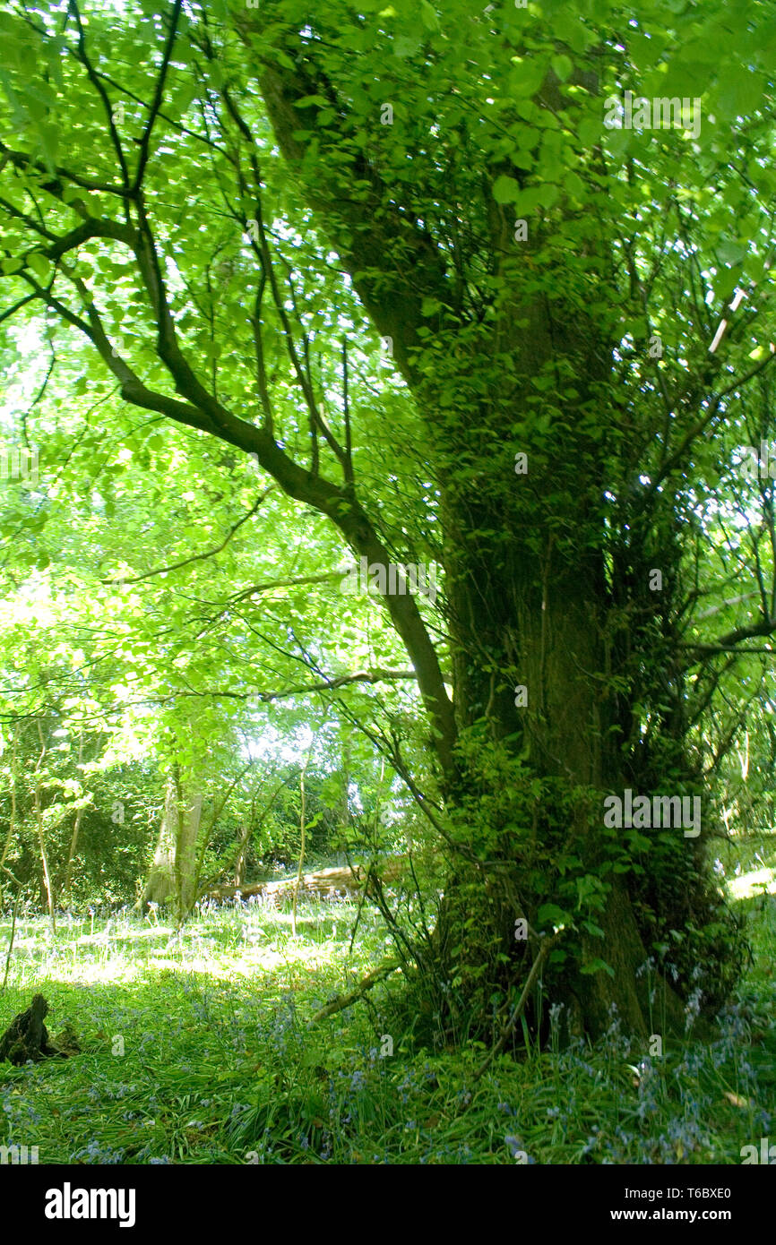 Large Tree in Meadow - Stock Image