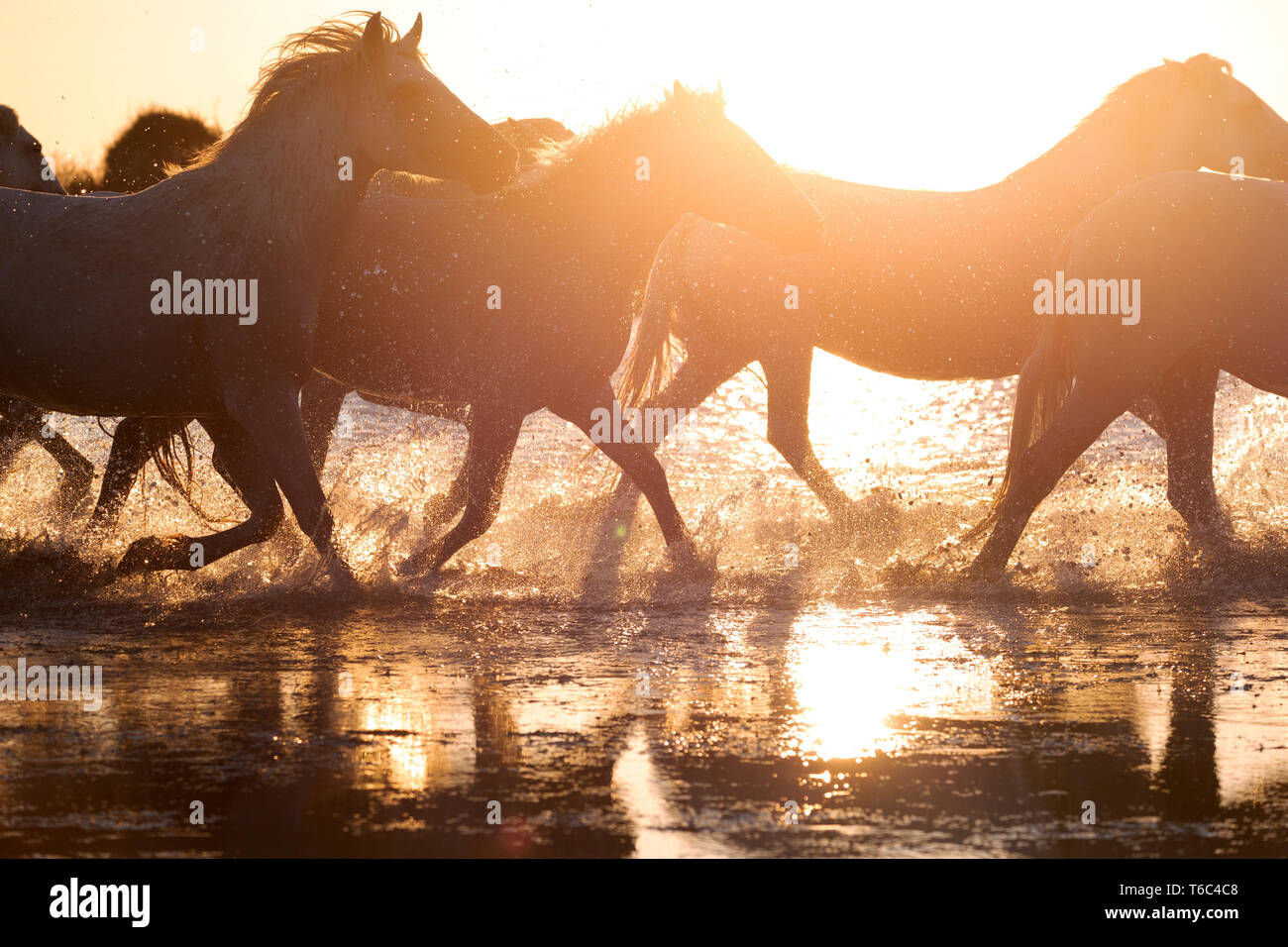 White Wild Horses of Camargue running on water, Aigues Mortes, Southern France - Stock Image