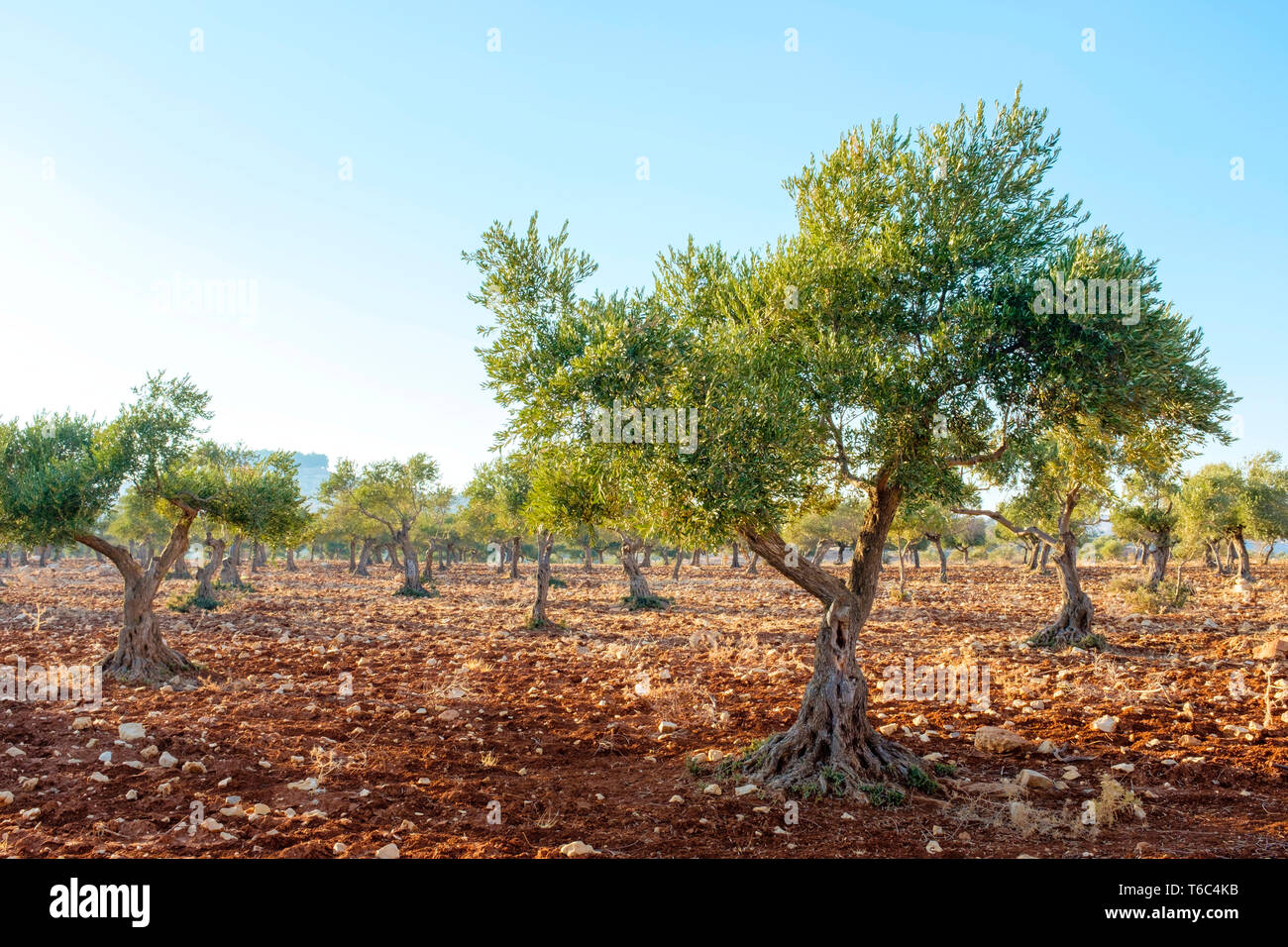 Palestine, West Bank, Ramallah and al-Bireh, Taybeh village. Palestanian olive trees in an olive grove near Taybeh. - Stock Image