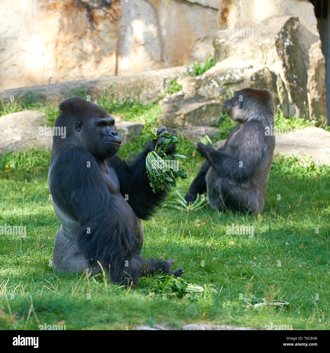 Gorillas during feeding in a zoo - Stock Image