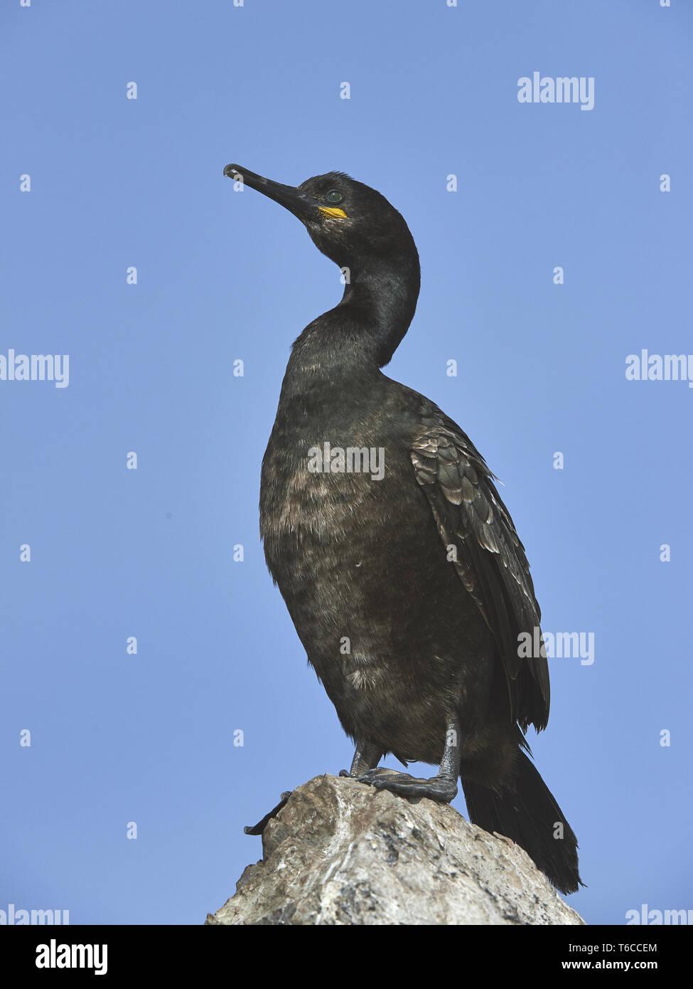 European shag, common shag, Phalacrocorax aristotelis - Stock Image