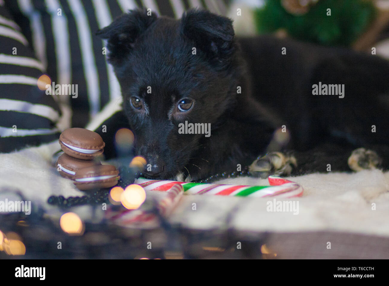 Christmas dog concept. Black dog. Puppy animals. New year decoration holiday. Christmas bauble happiness. - Stock Image