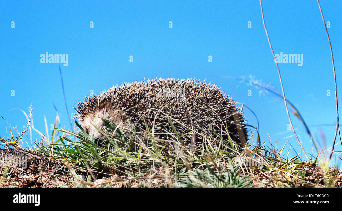 Hedgehog in the spring grass, close-up - Stock Image