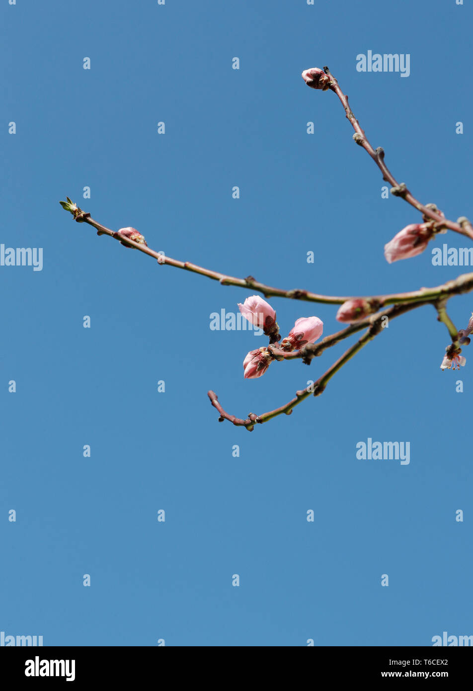 Peach (Prunus persica), peach flowers against blue sky. France - Stock Image