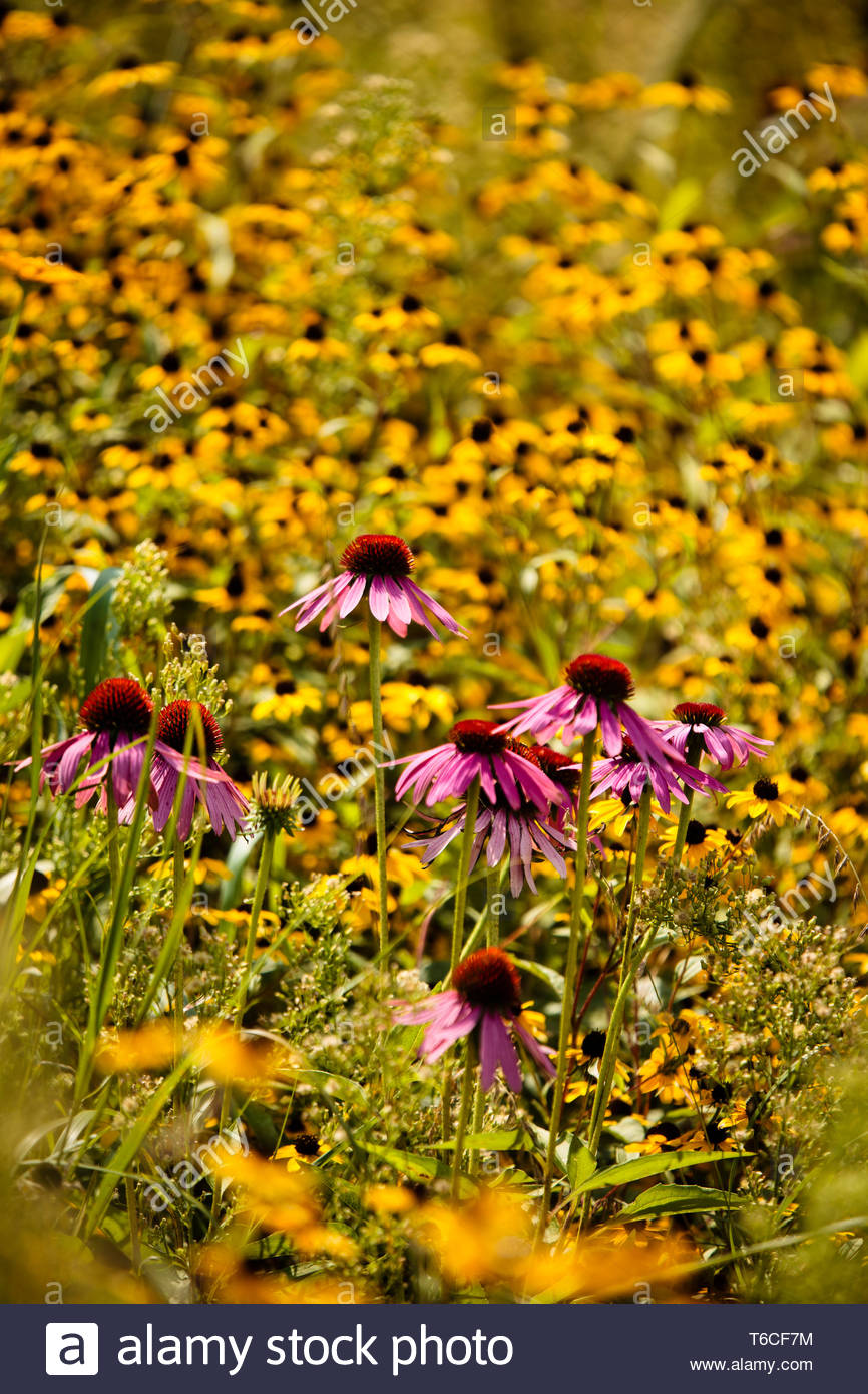 Purple coneflowers contrast against the brown-eyed susans in the prairie areas of the Forest Beach Migratory Preserve, near Belgium, Wisconsin - Stock Image