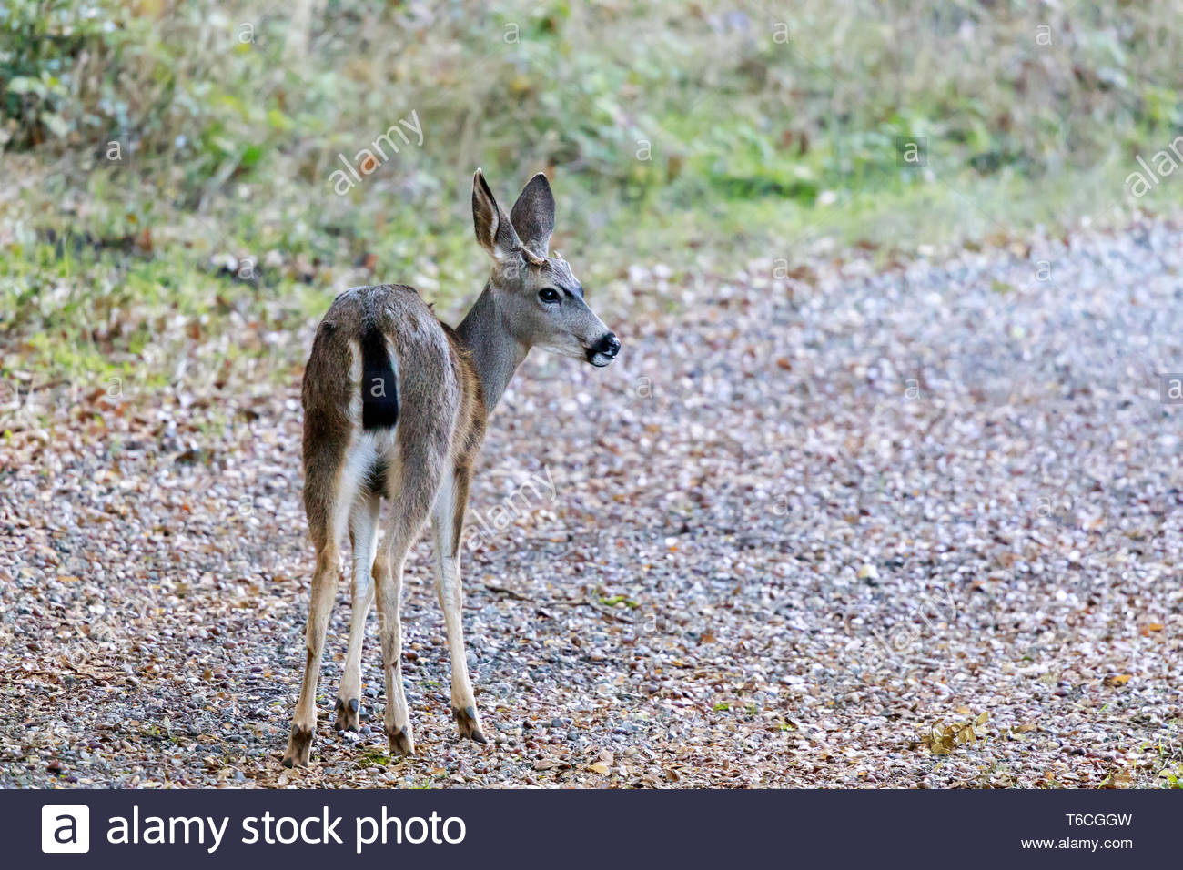 Cautious Black-tailed Deer Looking Back. - Stock Image
