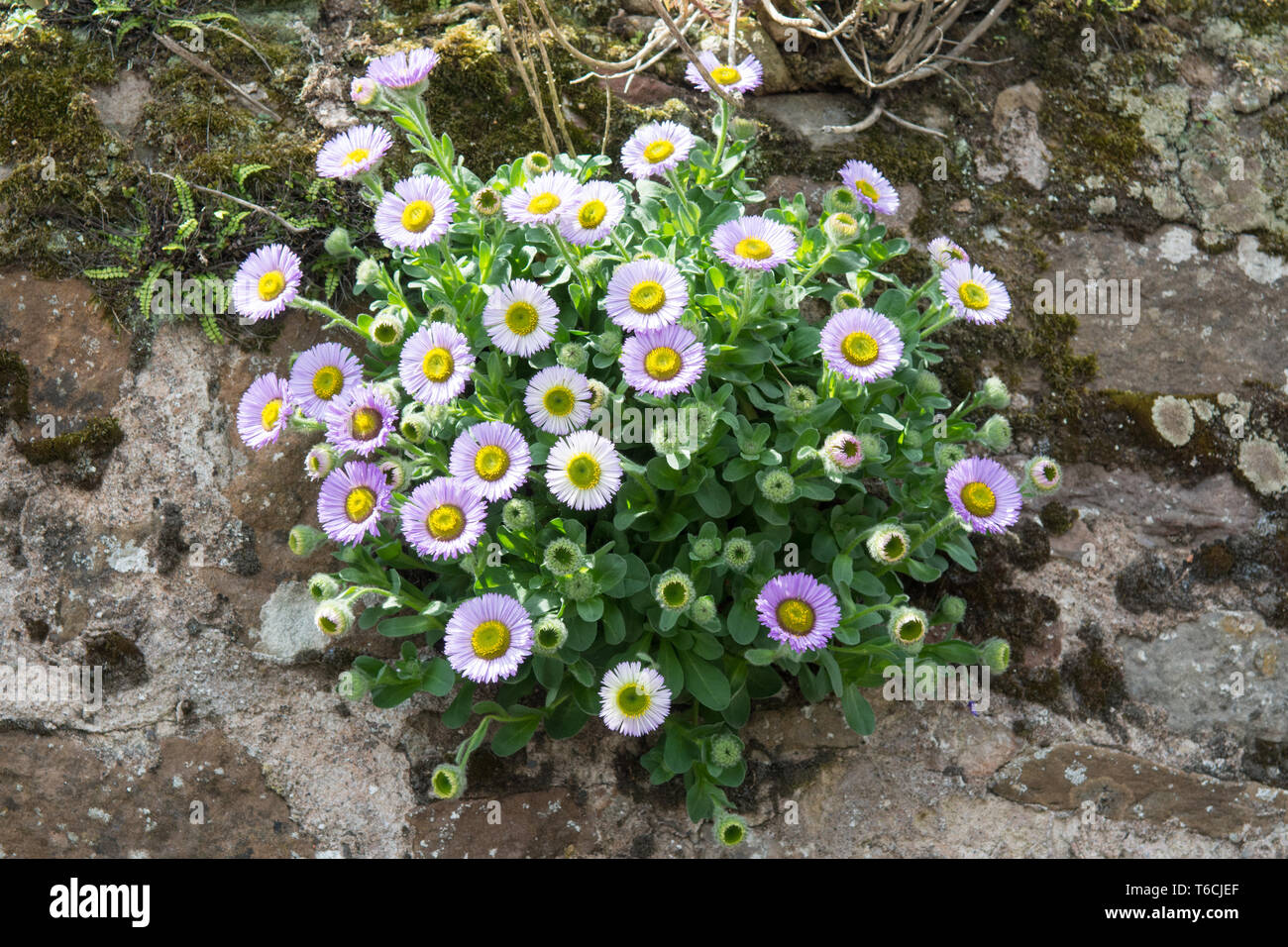 Erigeron Glaucus or seaside daisy or fleabane plant growing on a wall - UK Stock Photo