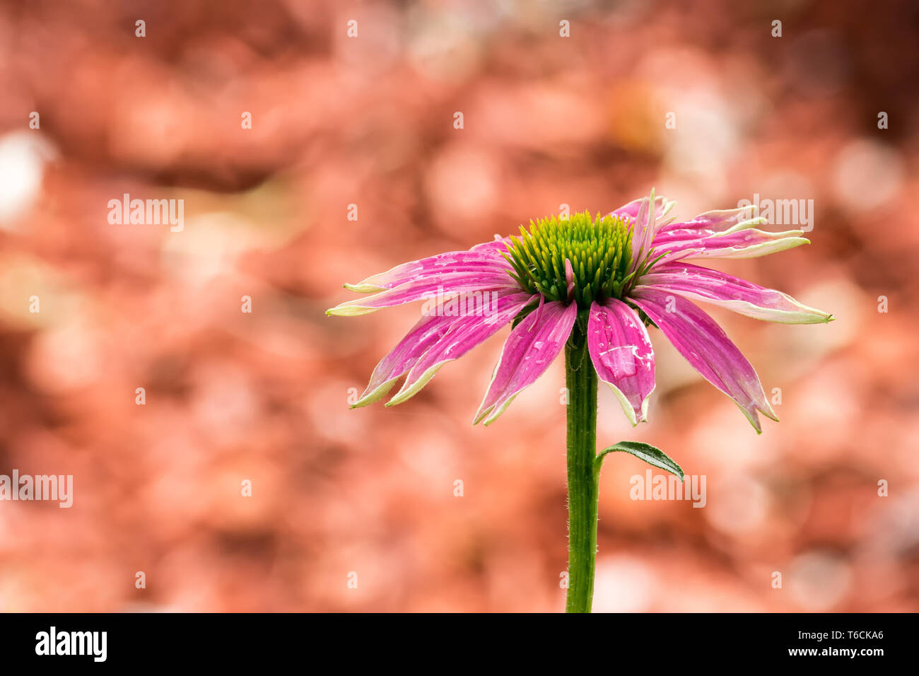 Pink colored coneflower after a summer rain - Focus Stacking - Stock Image