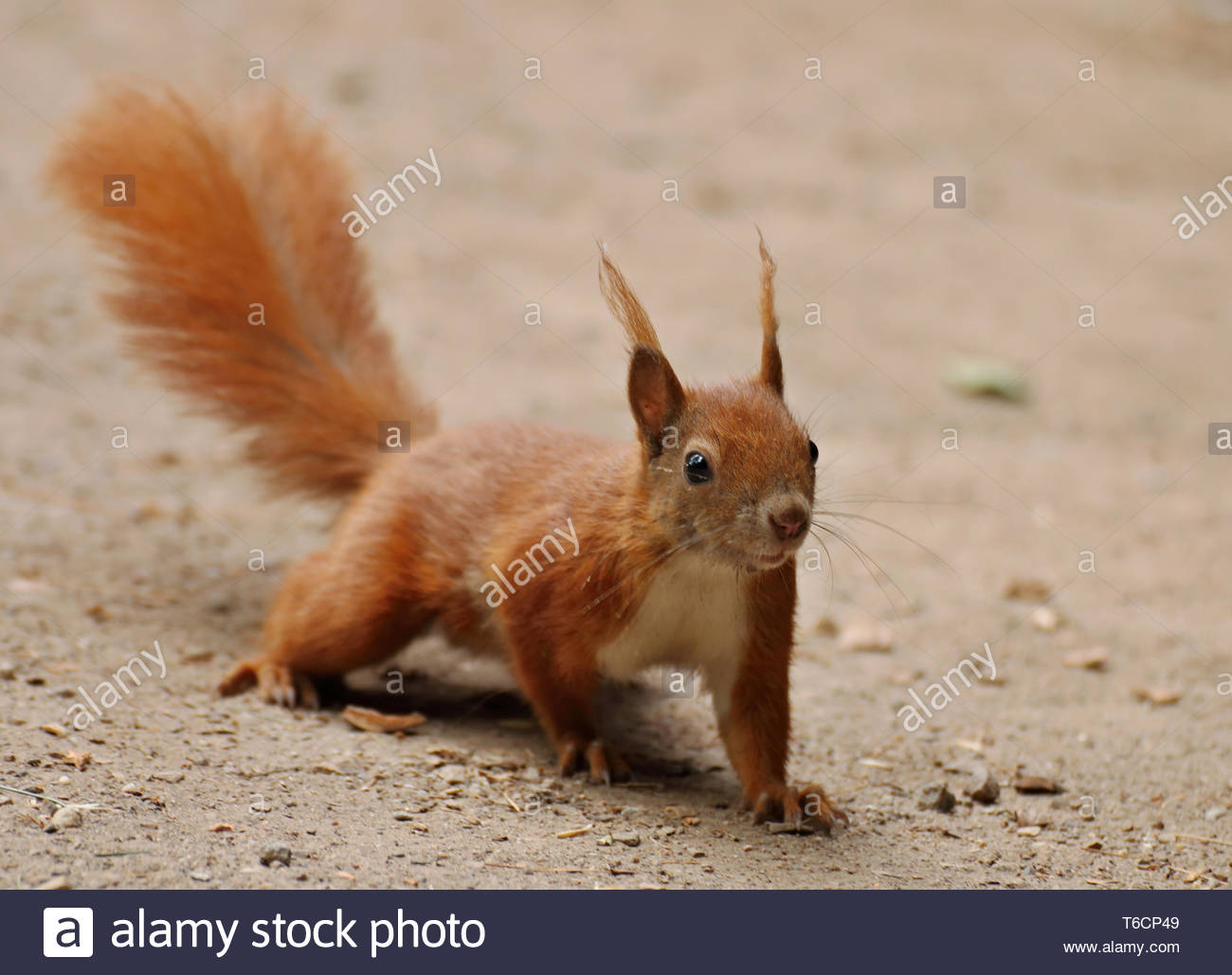 Clever squirrel - Stock Image