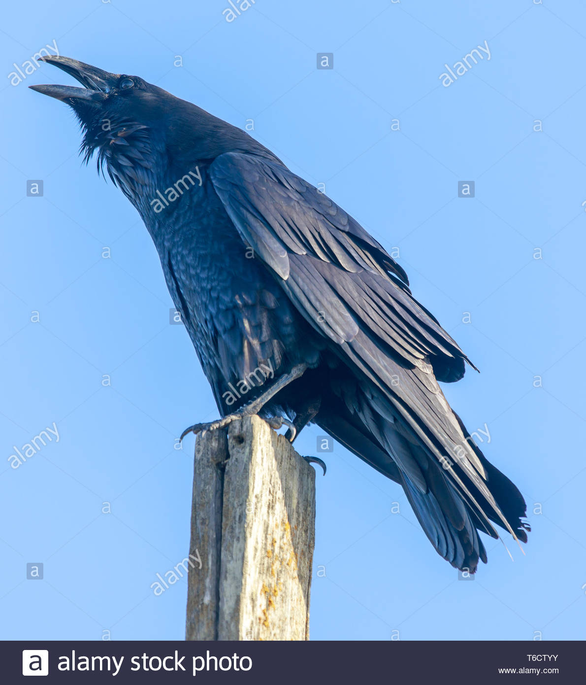 Common Raven (Corvus corax) perched on a pole and croaking. - Stock Image