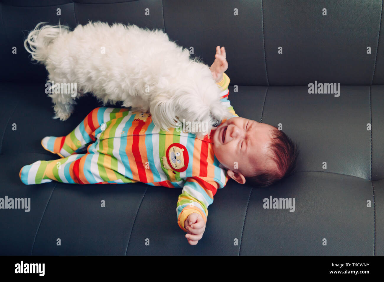Crying screaming Caucasian baby girl boy lying on bed couch with white dog by his side. Natural emotion expression. Candid childhood lifestyle. Relati - Stock Image