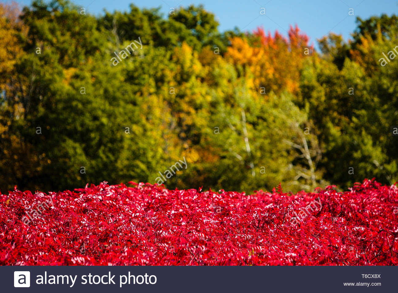 Brilliant sumac contrasts sharply against the changing colors of the maples and autumn blue sky in late September within the Pike Lake Unit, Wisconsin - Stock Image