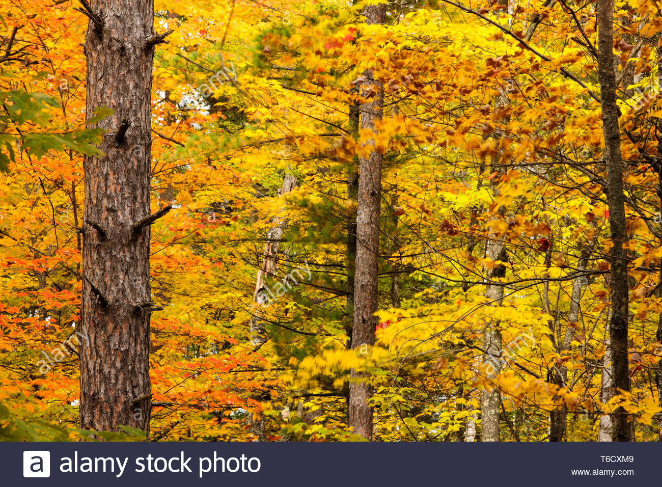Autumn Colors In Vilas Park Lagoon >> The Red Pine Tree Trunk Contrasts Against The Kaleidoscope Colors Of