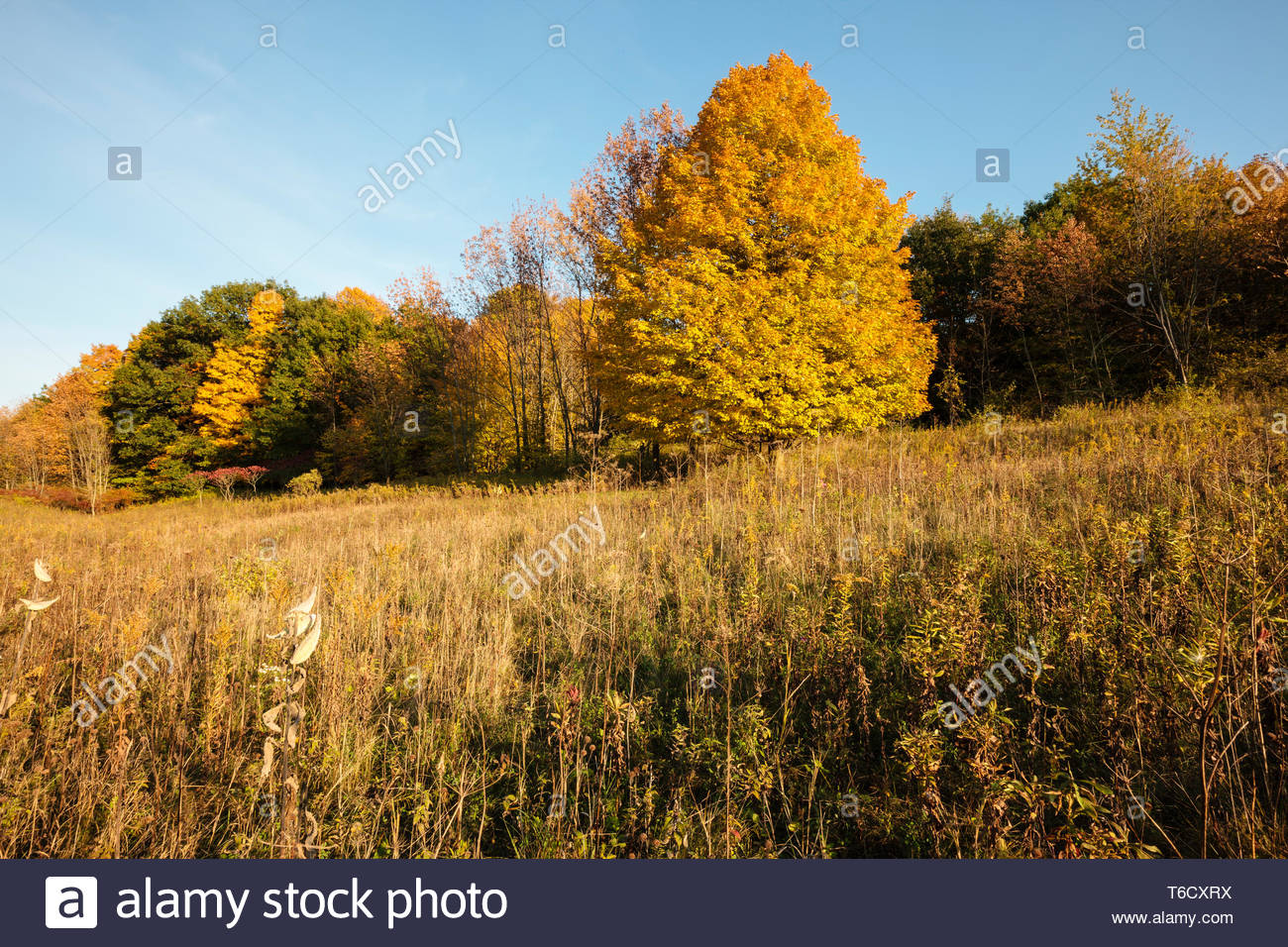 Autumn maples dot the hillside on an autumn afternoon, as the sun starts its descent in the west. - Stock Image