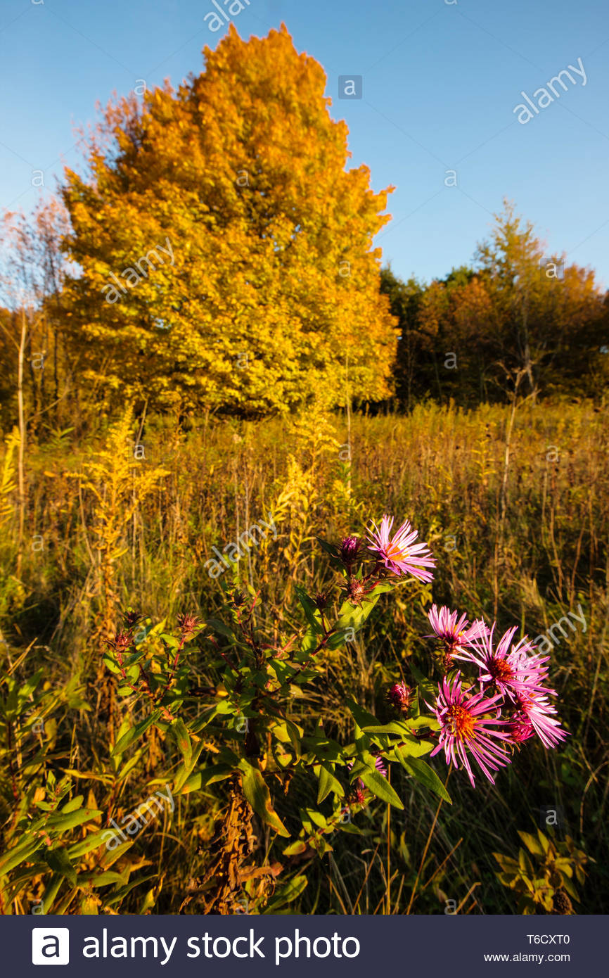 Purple aster add color in the late afternoon autumn sunshine, with the changing colors of the maples dot the hillside within the Pike Lake Unit, Wis - Stock Image