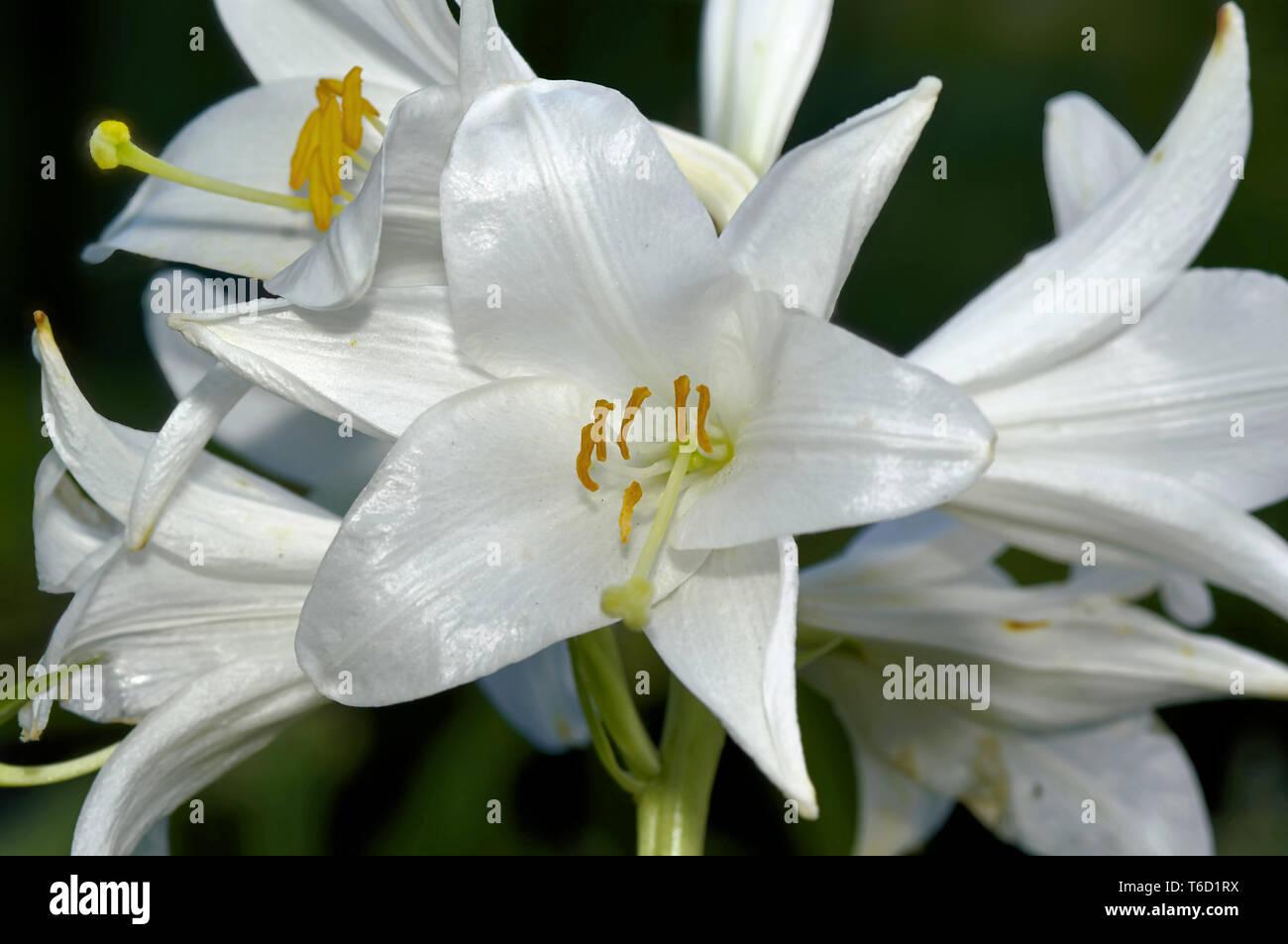 madonna lily Stock Photo