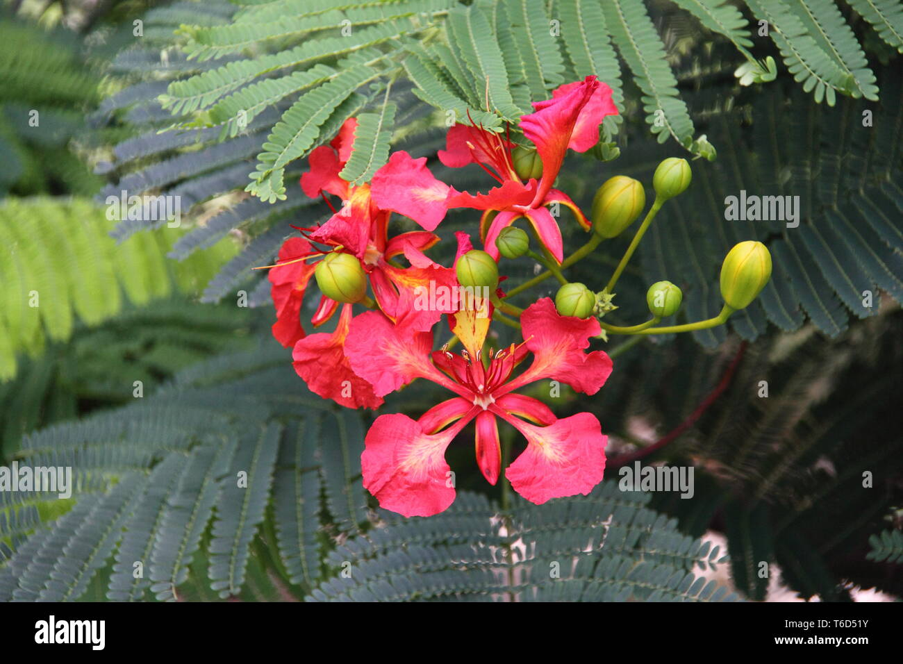 Open Flower of the Royal Poinciana Tree (Delonix Regia) - Stock Image