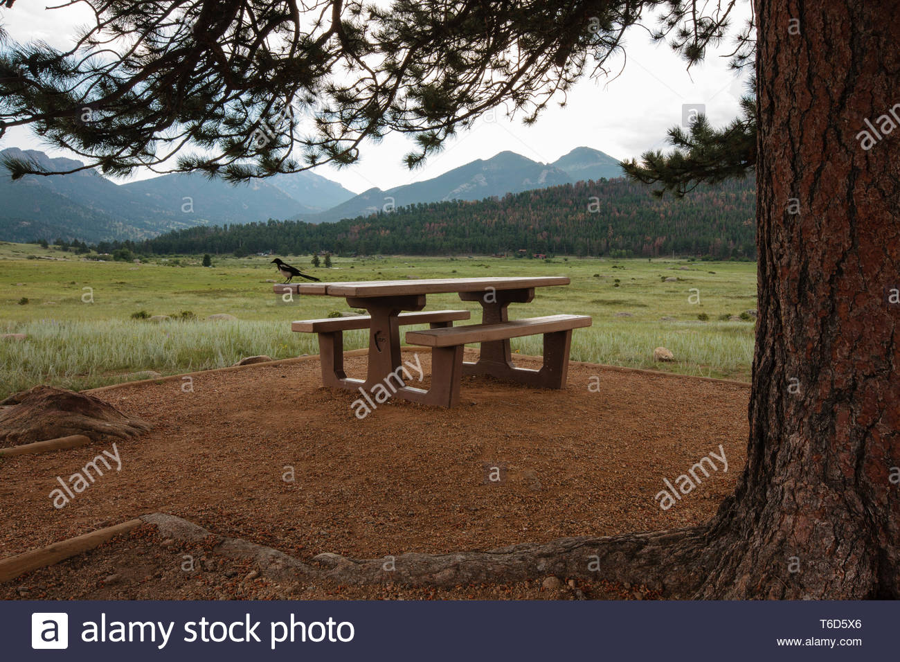 As the sky becomes more gray with an impending rain storm, a lone magpie is perched onto a solitary picnic table located under a tall ponderosa pine t - Stock Image