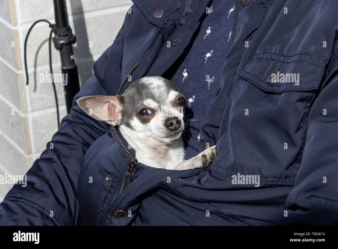 A chihuahua dog in white grey and brown colors, being comfy hiding in the owners blue jacket on a warm spring day. - Stock Image