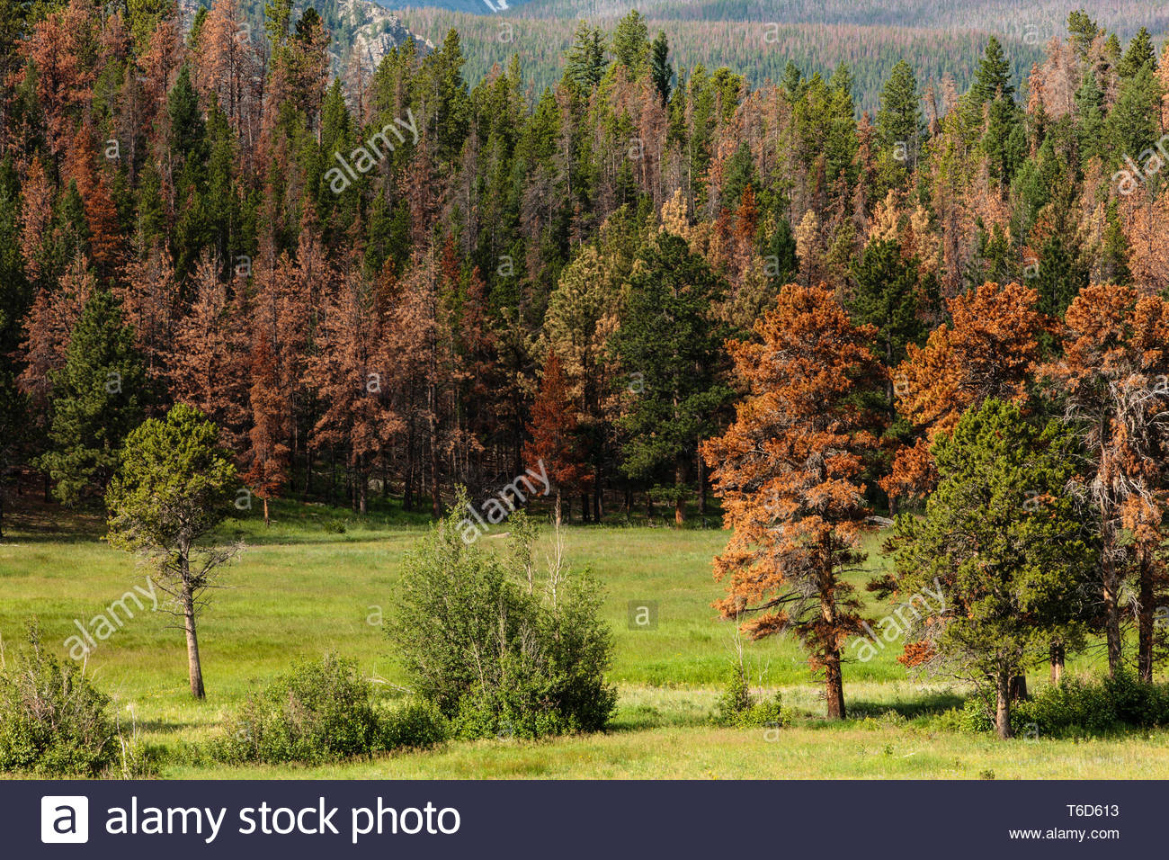 Mountain pine beetle infestation killed many pines within the Upper Beaver Meadows area, as well as throughout the park, in Rocky Mountain National Pa - Stock Image