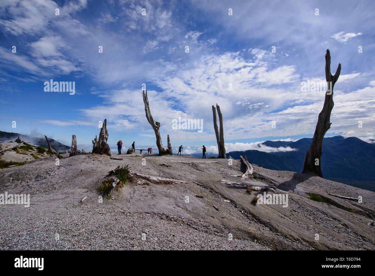Trees destroyed by the Chaitén volcano eruption, Pumalin National Park, Patagonia, Chaitén, Chile Stock Photo