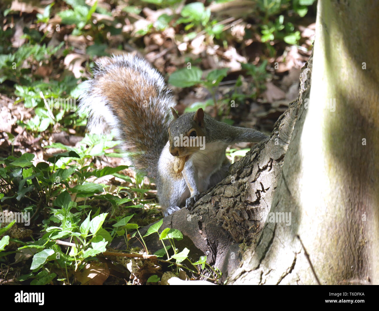Grey squirrel Sciurus carolinensis with peanut in mouth surprised before bolting up the tree - Stock Image