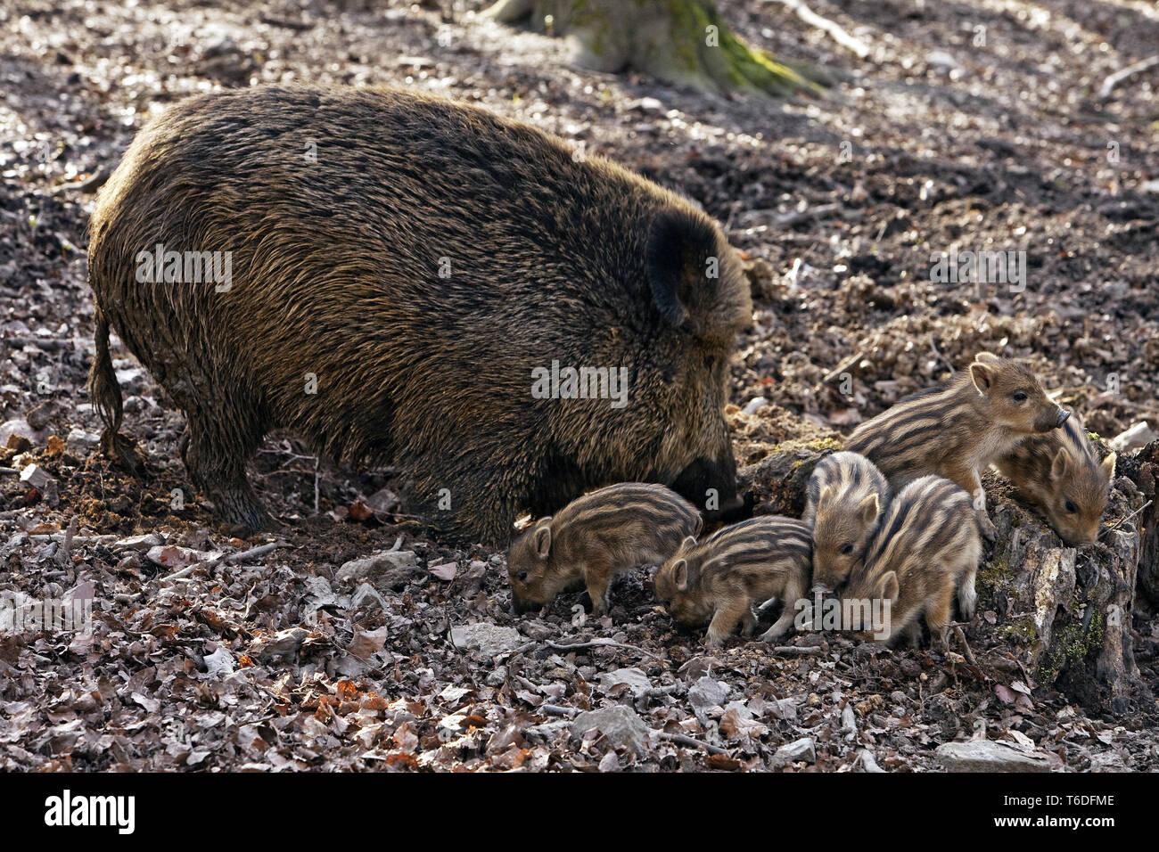 wild Boar, Sus scrofa, Nationalpark Bavarian forest, Germany - Stock Image