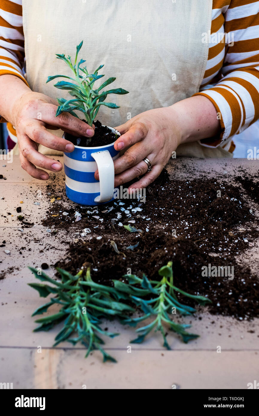 High Angle Close Up Of Person Planting Succulent In Potting Soil In A Coffee Mug Succulent Plants With Soil Attached To Root Stock Photo Alamy