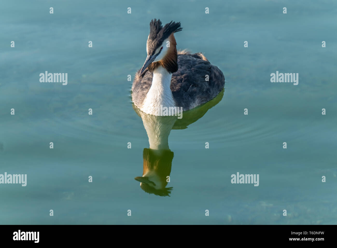 Breeding great crested grebes on the shores of the upper zurich lake, near Rapperswil, Sankt Gallen, Switzerland - Stock Image