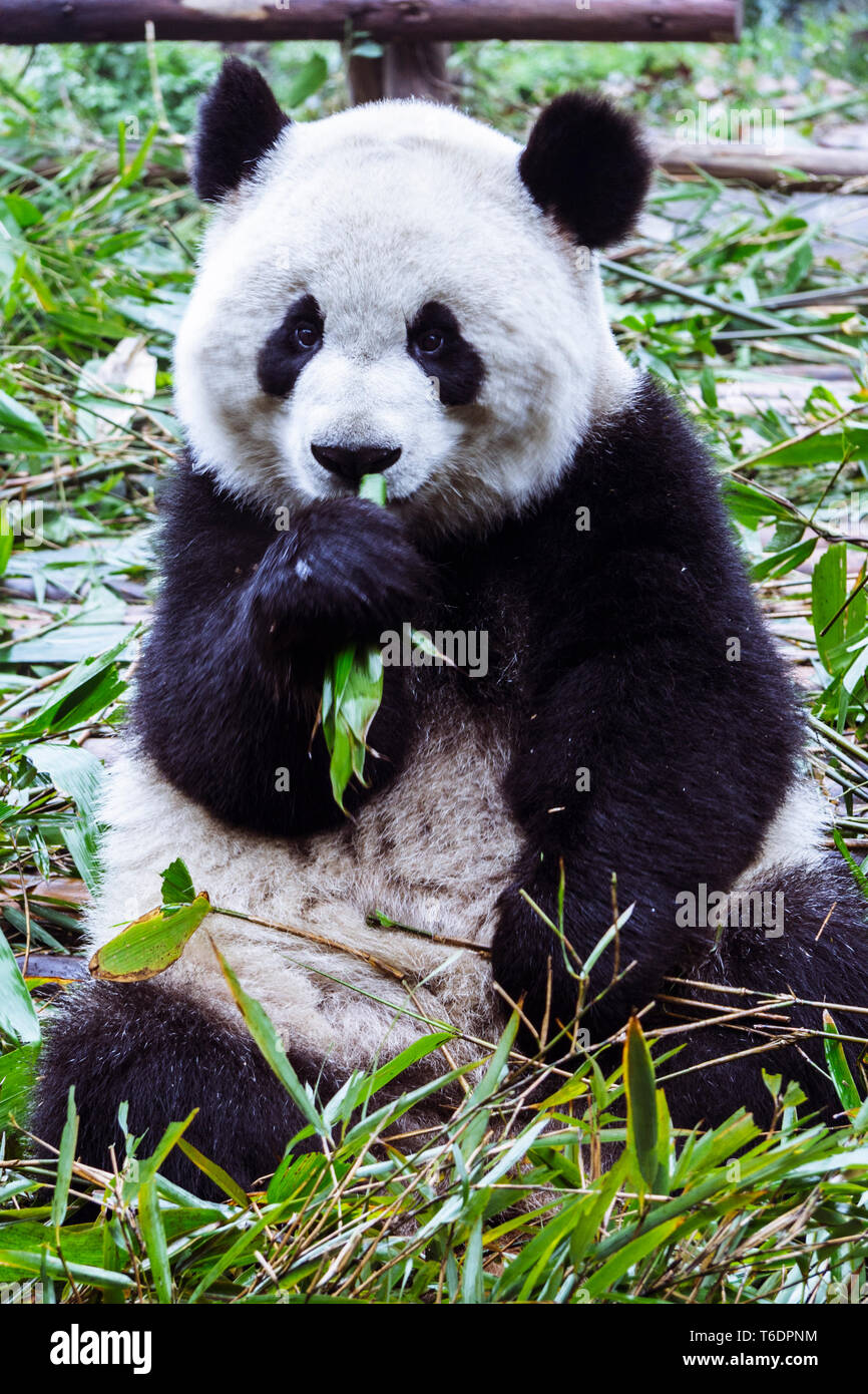 Chengdu, Sichuan province, China : Giant Panda bear eating bamboo at the Chengdu Research Base of Giant Panda Breeding. - Stock Image