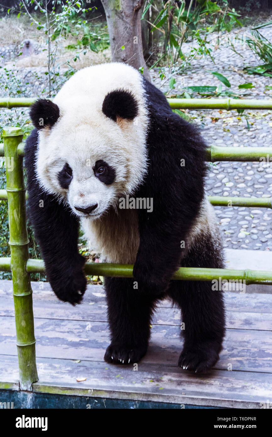 Chengdu, Sichuan province, China : Giant Panda bear at the Chengdu Research Base of Giant Panda Breeding. - Stock Image