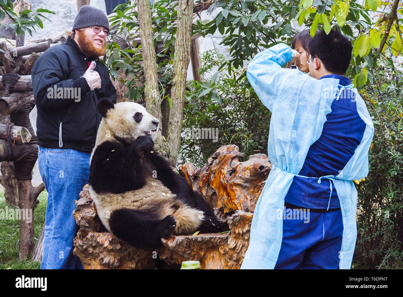 Chengdu, Sichuan province, China : A tourist has picture taken by a Giant Panda bear at the Chengdu Research Base of Giant Panda Breeding. - Stock Image