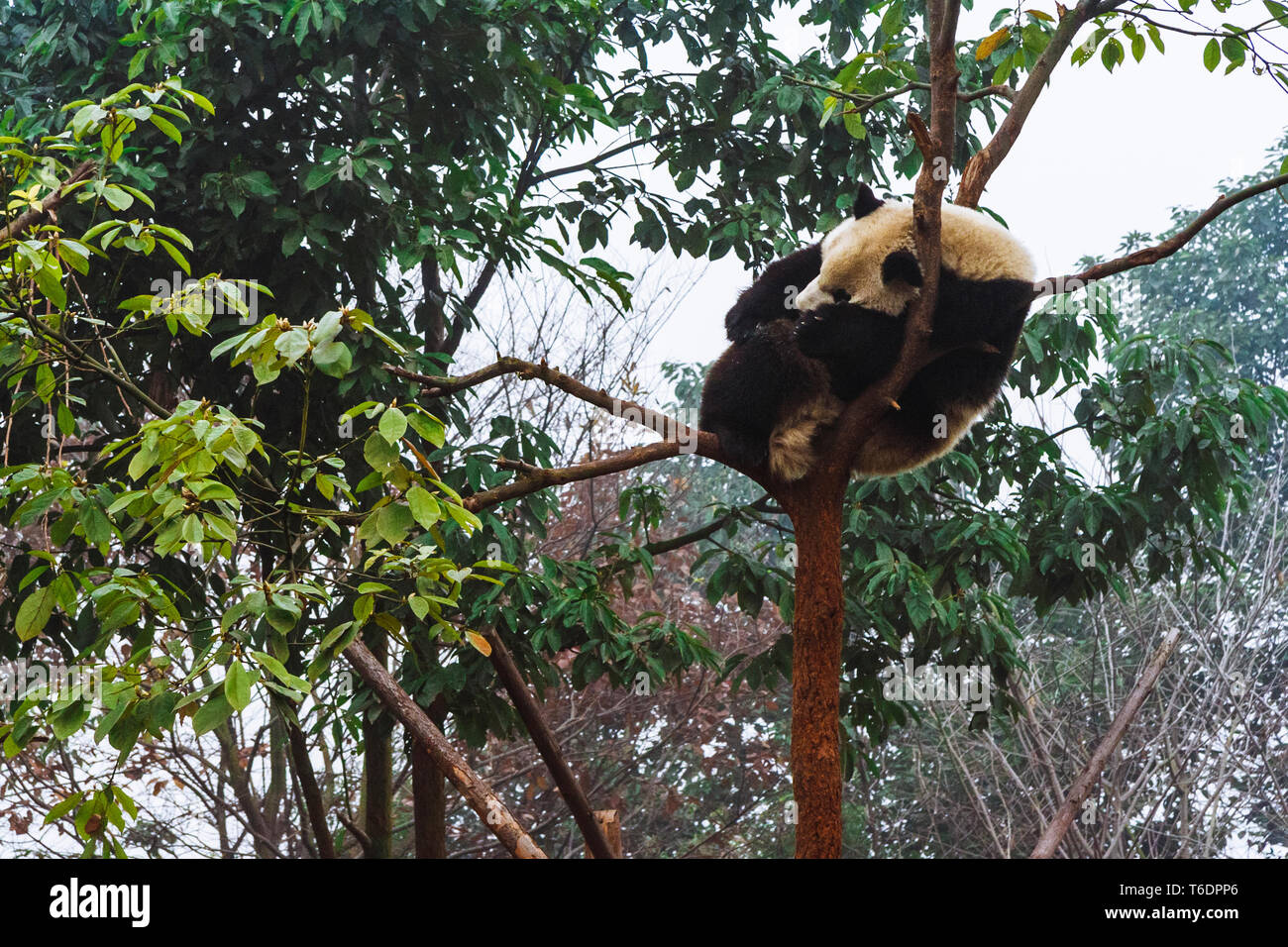 Chengdu, Sichuan province, China : A Giant Panda bear sleaps on top of a tree at the Chengdu Research Base of Giant Panda Breeding. - Stock Image