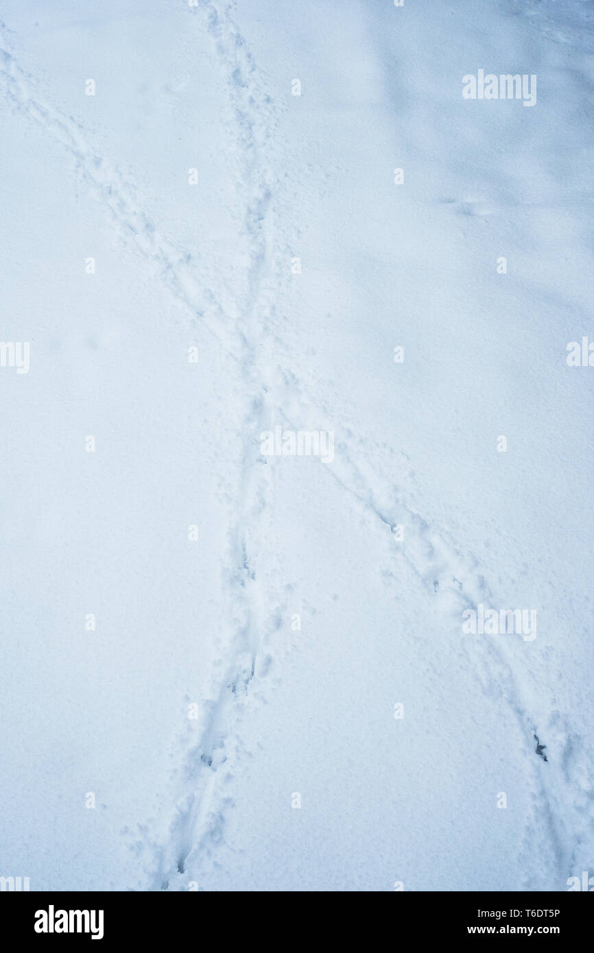 High angle close up of animal tracks in the snow, indentations in deep snow - Stock Image