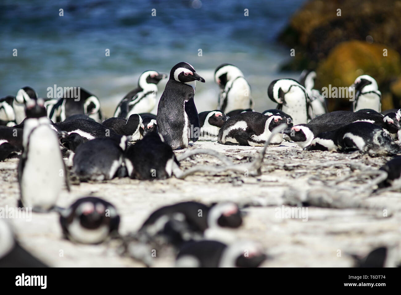 Penguin colony at Bettys Bay, South Africa Stock Photo