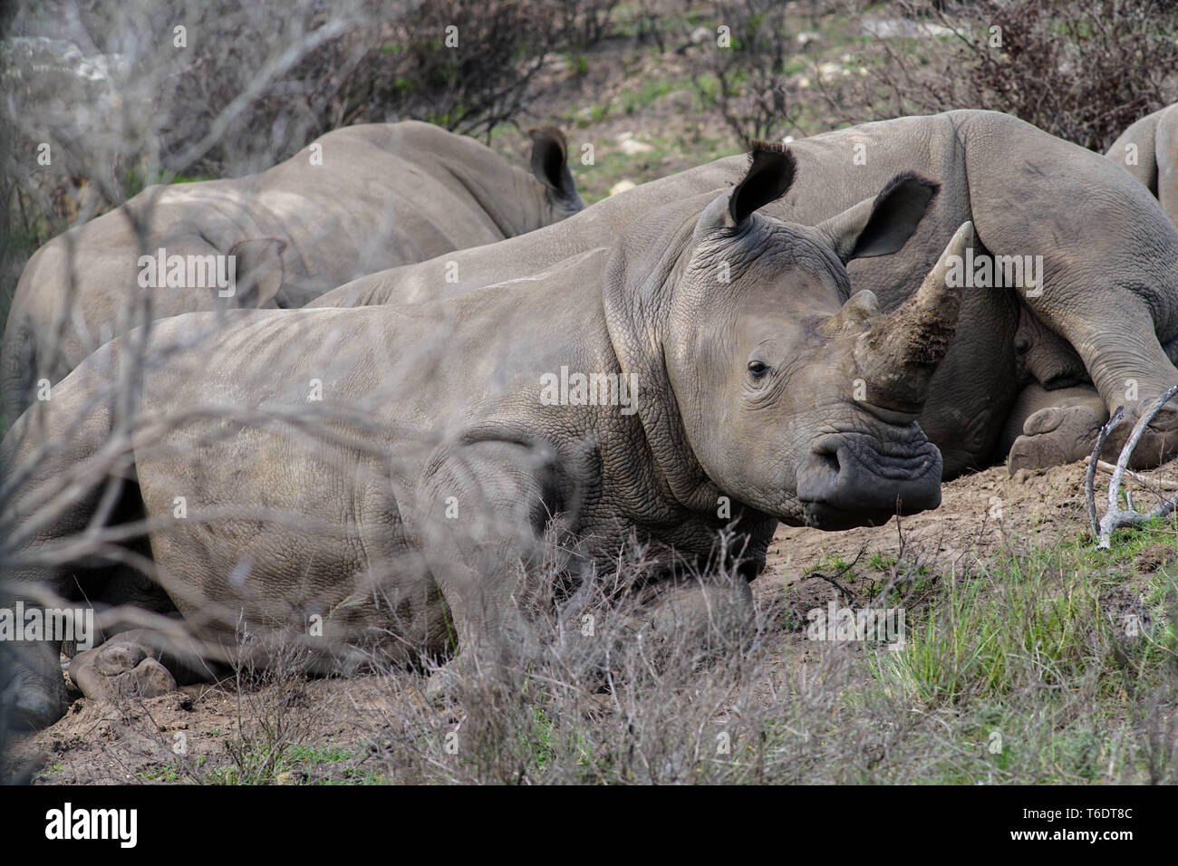 Rhino family in South Africa, Garden Route - Stock Image